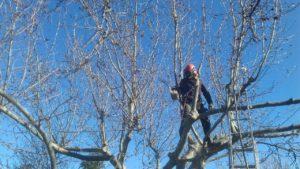 coupe des branches supérieures